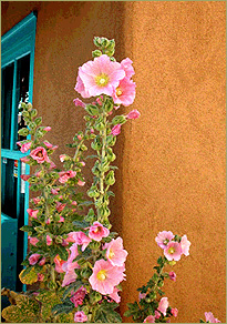 Hollyhocks agains a New Mexico adobe wall