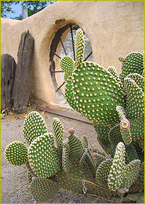 Prickly Pear Cactus agains adobe wall
